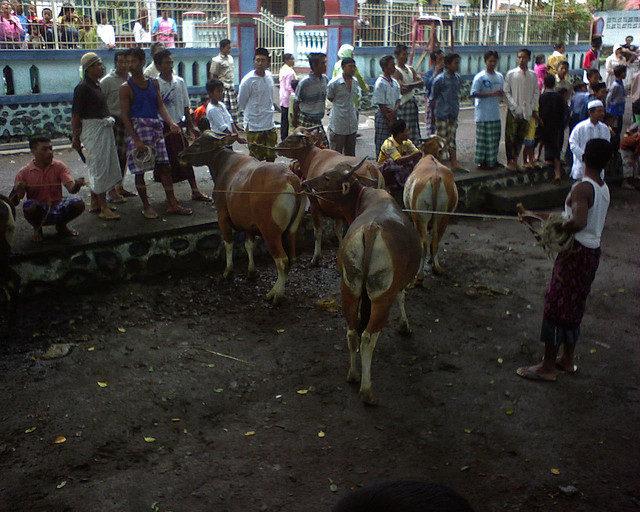 Cows_for_Eid_ul-Adha